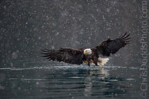 American Bald Eagle in Kachemak Bay, Alaska