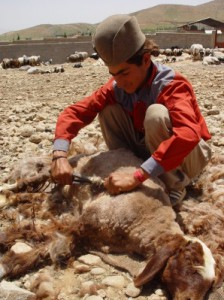 Wool_cut_from_sheep_is_then_used_in_carpet_manufacturing-29815-1