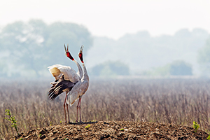 saruscrane at keoladeo ghana national park