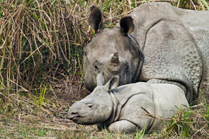 rhinoceros with baby at kaziranga national park