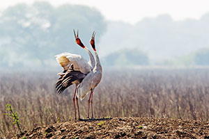 sarus crane dancing at keoladeo ghana nationa park