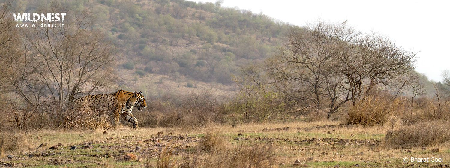 ranthambore national park Ranthambhorenationalparkin offers ranthambore weekend tour package for 2 night & 3 days in ranthambore national park.