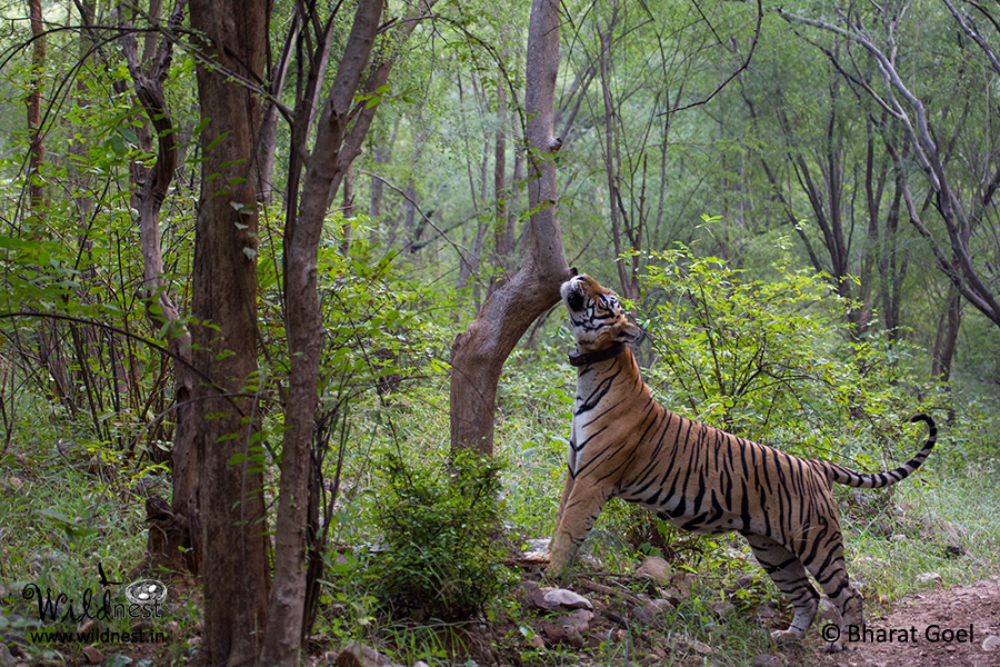 tiger at sariska tiger reserve