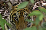 tiger in the bushes at tadoba andhari tiger reserve