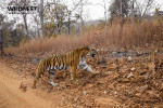 tiger on the way at tadoba andhari tiger reserve