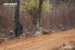 tiger relaxing at tadoba andhari tiger reserve