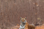 tiger watching at tadoba andhari tiger reserve