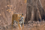 tiger watching kill at tadoba andhari tiger reserve
