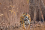 tiger at tadoba andhari tiger reserve