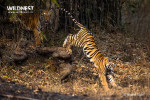 tiger cubs jumping at tadoba andhari tiger reserve
