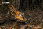 tiger cubs playing at tadoba andhari tiger reserve