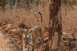 tiger marking territory at tadoba andhari tiger reserve