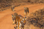 tiger mother with cubs at tadoba andhari tiger reserve