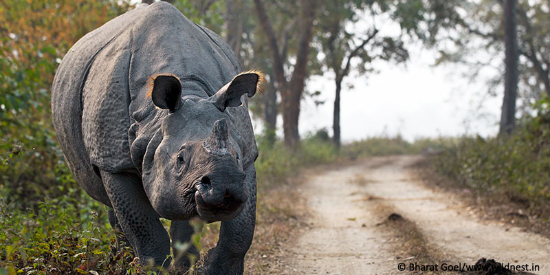 one-horned rhino at kaziranga national park