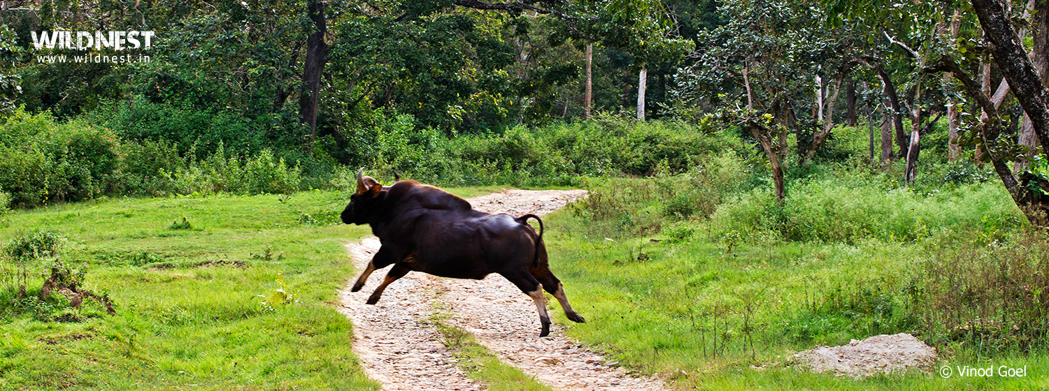 indian gaur at bandipur national park