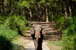 Elephant walking at Corbett Tiger Reserve