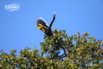 Great hornbill at Corbett Tiger Reserve