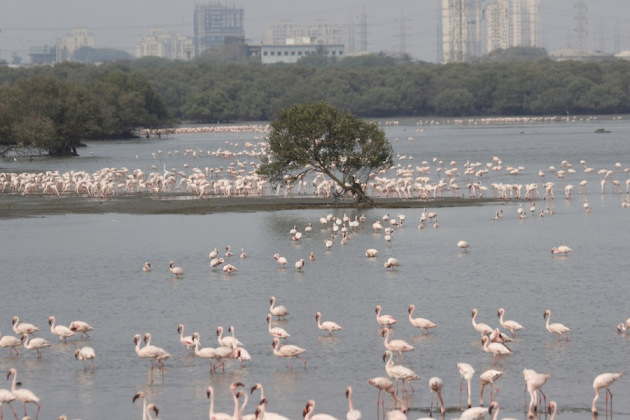 flamingos at sewri jetty mumbai