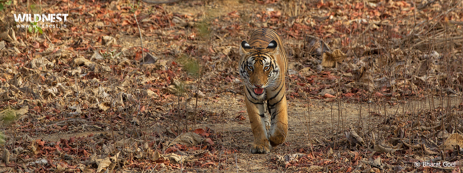 tiger at panna national park