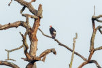 Red Headed Vulture at dudhwa tiger reserve