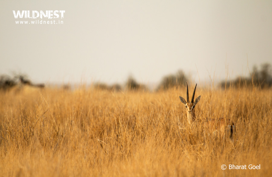chinkara at desert national park