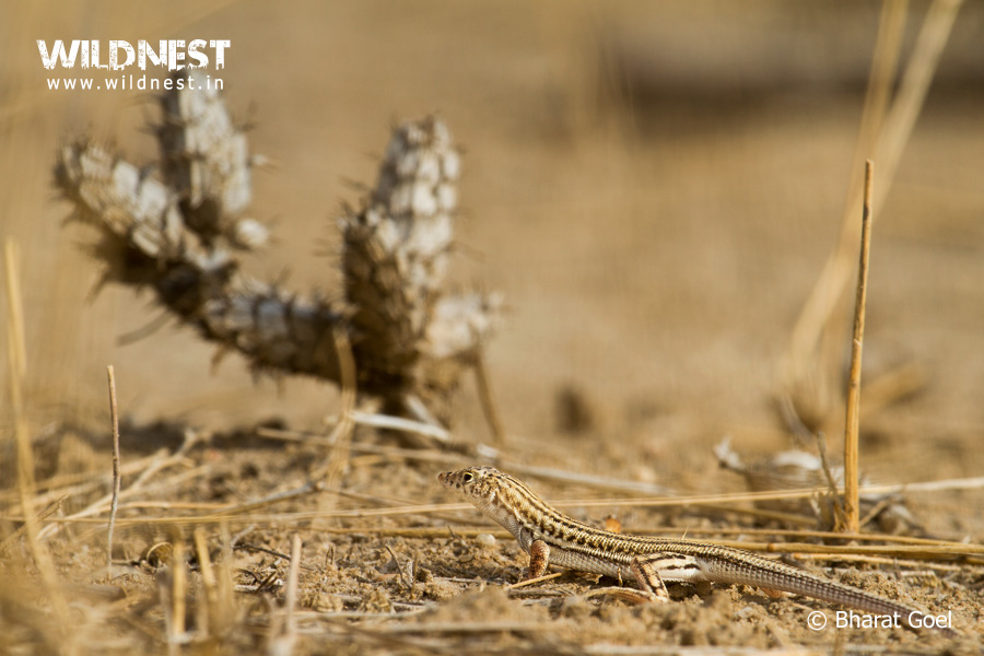 lizard photography at desert national park