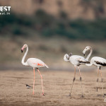 flamingos at chambal wildlife sanctuary