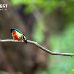 indian pitta at bandhavgarh national park