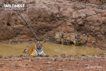 tiger mother caring her cubs at tadoba andhari tiger reserve