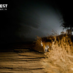 tiger photopgraphy in night at bandhavgarh national park