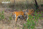 cubs following tiger mother at tadoba andhari tiger reserve