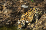 tiger drinking at tadoba andhari tiger reserve