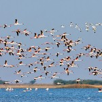 flamingos in flight at little rann of kutch