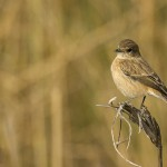 common stonechat at sultan national park