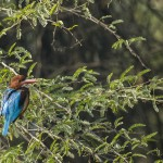 white throated kingfisher at sultanpur national park