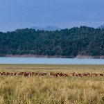 deer herd at corbett tiger reserve