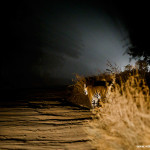 Tiger in night in buffer of Bandhavgarh National Park,