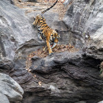 tiger cave at bandhavgarh national park