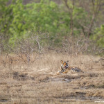 tiger cub at bandhavgarh national park