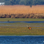 barasingha in river at dudhwa national park