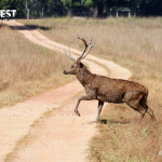 barasingha at kanha national park