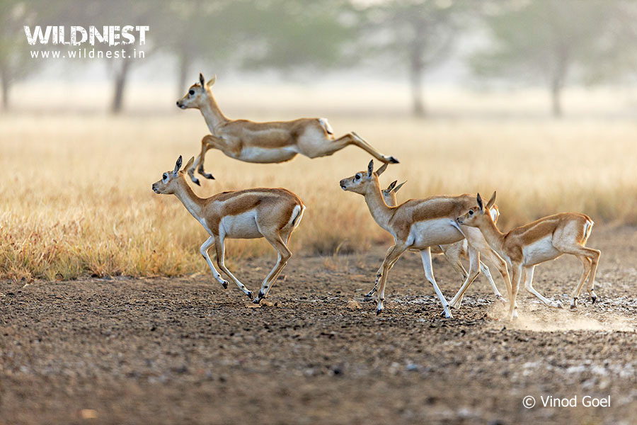 group of blackbuck at velavadar national park