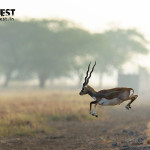 blackbuck at velavadar national park