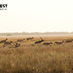 blackbuck running at velavadar national park
