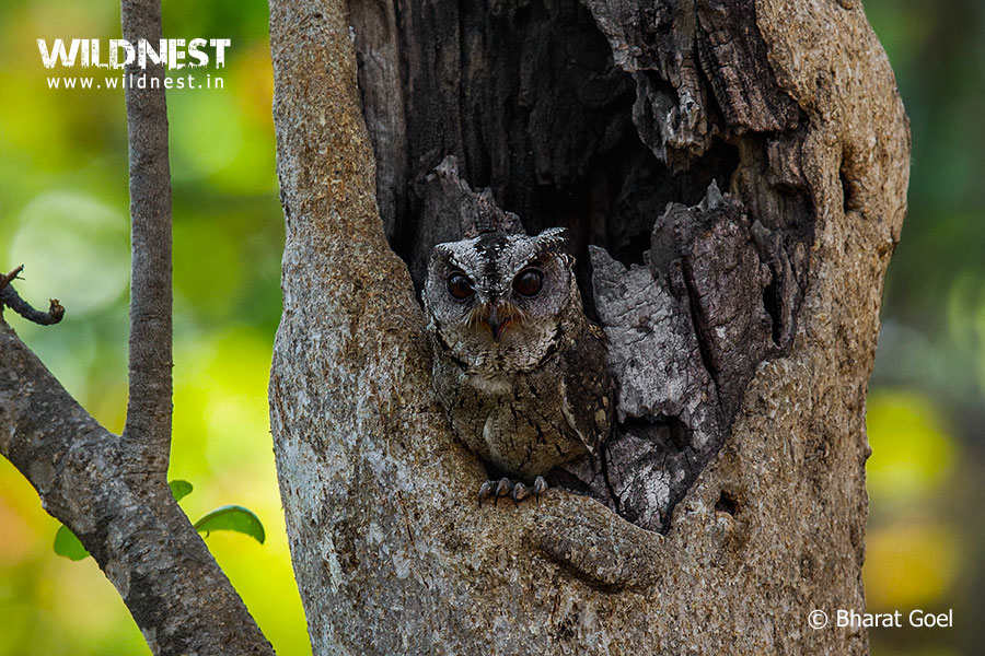 collared scops owl at pench tiger reserve