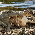 Crocodile with Deer at Tadoba Andhari Tiger Reserve