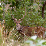 deer with porcupine at kanha national park