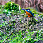common kingfisher at dudhwa national park