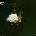 gaint wood spider at tadoba andhari tiger reserve