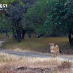 lion in habitat at gir national park